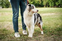 Portrait of a beautiful young Australian Shepherd Blue Merle stands next to the owner.  stock photos