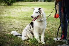 Portrait of a beautiful young Australian Shepherd Blue Merle stands next to the owner.  stock image