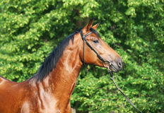 Portrait of beautiful young bay stallion Royalty Free Stock Photography
