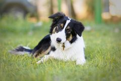 Portrait of a beautiful young Border Collie puppy. Border Collie puppy lying on the grass playing with a stick in its mouth and looking to the camera royalty free stock photography