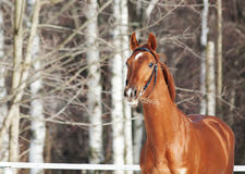Portrait of beautiful young chestnut horse Stock Image