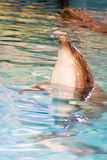 Portrait of the beautiful young dolphin Stock Image