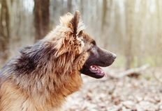 Portrait of a beautiful Young Fluffy German Shepherd Dog in the Forest. Walks With a Pets Outdoor. Stock Image