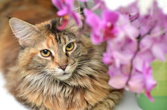 Portrait of beautiful young maine coon cat Stock Photos