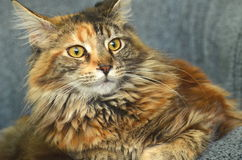 Portrait of beautiful young maine coon cat Royalty Free Stock Photo