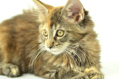 Portrait of beautiful young maine coon cat Stock Photo