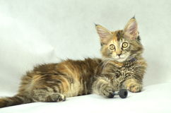 Portrait of beautiful young maine coon cat Stock Image