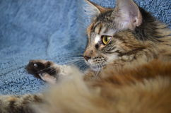 Portrait of beautiful young maine coon cat Royalty Free Stock Image