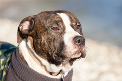 Portrait of beautiful young male american staffordshire terrier (Amstaff) playing Stock Photo