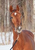 Portrait of beautiful young red  horse Stock Images