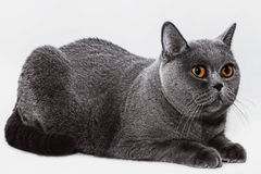 Portrait of beautiful young short-haired British gray cat with y Royalty Free Stock Images