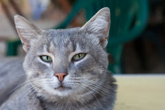 Portrait of a beautiful young smoky cat Royalty Free Stock Photography