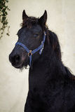 Portrait beauty foal - friesian horse stallion Stock Images
