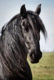 Portrait beauty friesian horse Stock Images