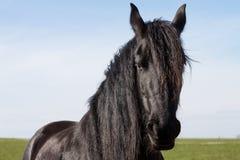 Portrait beauty friesian horse Stock Photo