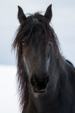 Portrait beauty friesian horse Royalty Free Stock Photo