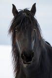 Portrait beauty friesian horse Royalty Free Stock Photo