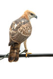 Portrait of beauty hawk Royalty Free Stock Images