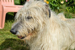 Portrait of beauty Irish wolfhound dog posing in the garden Stock Image