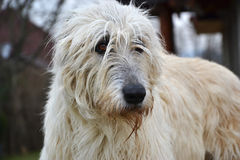 Portrait of beauty Irish wolfhound dog posing in the garden Royalty Free Stock Images