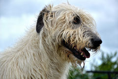 Portrait of beauty Irish wolfhound dog posing in the garden Royalty Free Stock Image