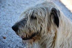 Portrait of beauty Irish wolfhound dog posing in the garden Stock Photo