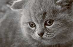 Portrait of a beauty kitten Royalty Free Stock Photos