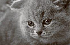 Portrait of a beauty kitten Royalty Free Stock Photos