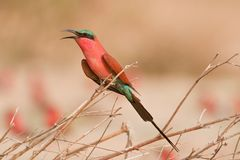 Portrait of a bee-eater in southern Africa. Stock Photos