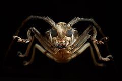 Portrait of beetle cerambycidae. Batocera lineolata Royalty Free Stock Photography
