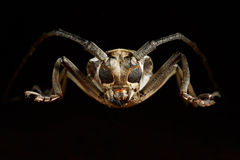 Portrait of beetle cerambycidae. Batocera lineolata Royalty Free Stock Photos