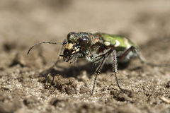 Portrait beetle standing on the ground in the desert Stock Image