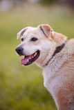 Portrait of a beige dog. Royalty Free Stock Image
