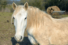 Portrait of beige horse Royalty Free Stock Photos