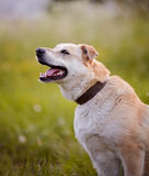 Portrait of a beige not purebred dog. Royalty Free Stock Photos