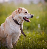 Portrait of a beige not purebred dog in an old collar. Stock Photos