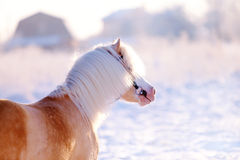 Portrait of a beige pony Stock Photos