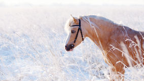 Portrait of a beige pony in the field in the winter. Royalty Free Stock Images