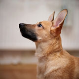 Portrait of a beige puppy. Stock Image