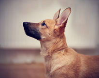 Portrait of a beige puppy. Royalty Free Stock Image