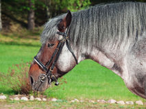 Portrait of Belgian draught horse. Royalty Free Stock Photos