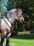 Portrait of Belgian draught horse. Royalty Free Stock Photography