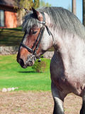 Portrait of Belgian draught stallion. Sunny day Royalty Free Stock Images