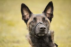 Portrait of the Belgian Malinois shepherd adult with an adjustable muzzle. A portrait of the Belgian Malinois shepherd adult with an adjustable muzzle Royalty Free Stock Images