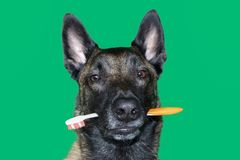 Portrait of Belgian Malinois shepherd dog with a toothbrush between teeth for hygiene and dental care of the dog on green backgr. A portrait of Belgian Malinois Stock Photo