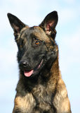 Portrait of Belgian shepherd 2. Portrait of purebred belgian shepherd malinois: attentive police dog Stock Photography