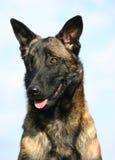 Portrait of Belgian shepherd 2 Stock Photography