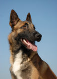 Portrait of belgian shepherd Stock Photos