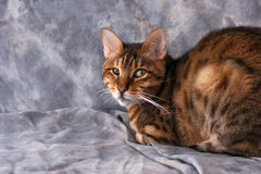 Portrait of bengal. Portrait of adult male bengal cat looking at viewer against a grey background Stock Image
