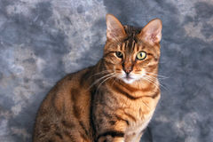 Portrait of a bengal cat. Handsome portrait of adult male bengal cat against grey background Royalty Free Stock Image